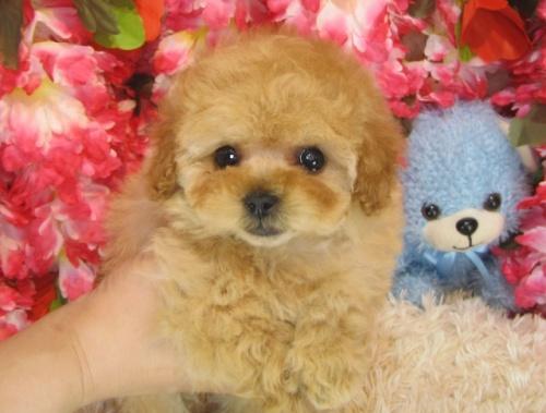 トイプードルの子犬(ID:1249511792)の3枚目の写真/更新日:2017-04-26