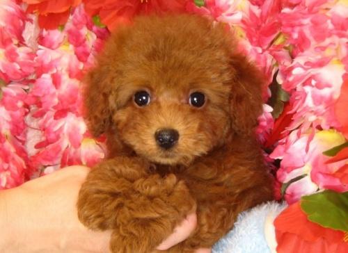 トイプードルの子犬(ID:1249511793)の1枚目の写真/更新日:2017-05-09