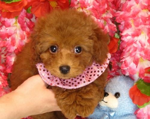 トイプードルの子犬(ID:1249511793)の2枚目の写真/更新日:2017-05-09