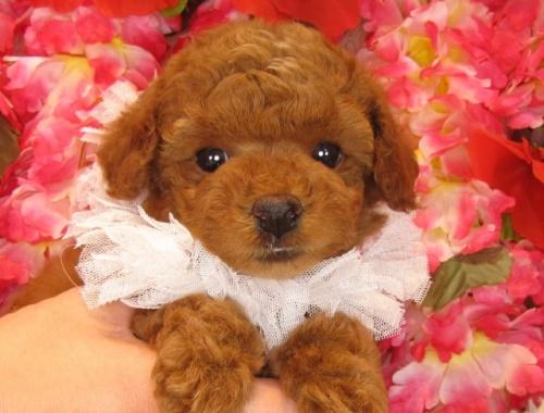 トイプードルの子犬(ID:1249511794)の1枚目の写真/更新日:2017-05-09