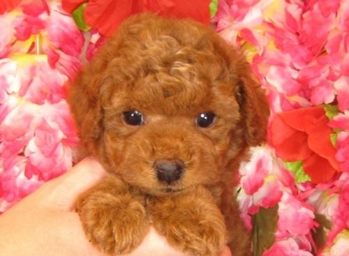 トイプードルの子犬(ID:1249511794)の2枚目の写真/更新日:2017-05-09