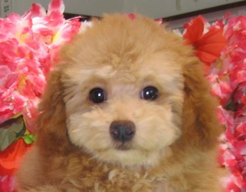 トイプードルの子犬(ID:1249511795)の1枚目の写真/更新日:2017-05-09