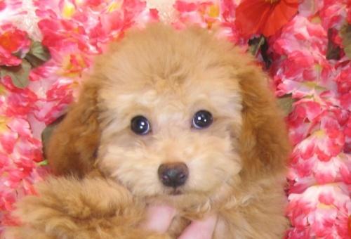 トイプードルの子犬(ID:1249511795)の2枚目の写真/更新日:2017-05-09