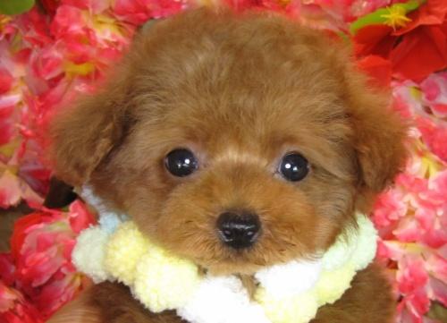 トイプードルの子犬(ID:1249511796)の1枚目の写真/更新日:2017-05-15