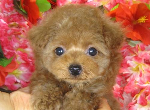 トイプードルの子犬(ID:1249511796)の2枚目の写真/更新日:2017-05-15