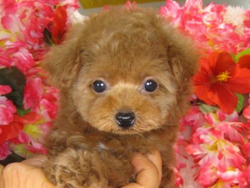 トイプードルの子犬(ID:1249511796)の3枚目の写真/更新日:2017-05-15