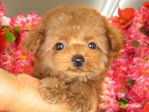 トイプードルの子犬(ID:1249511796)の4枚目の写真/更新日:2017-05-15