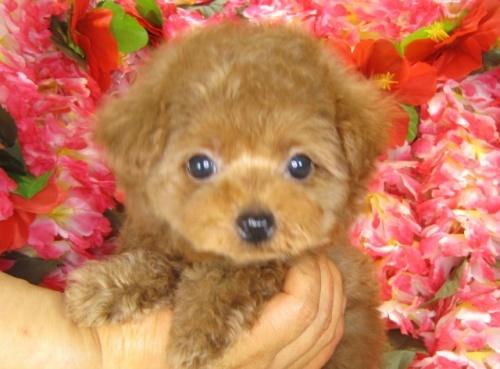 トイプードルの子犬(ID:1249511796)の5枚目の写真/更新日:2017-05-15