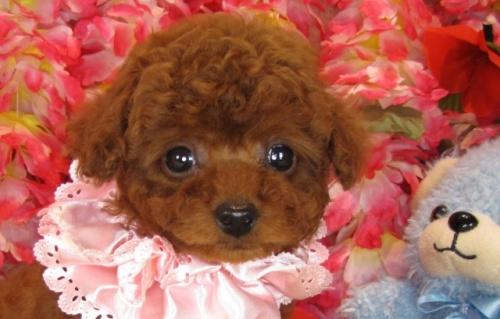 トイプードルの子犬(ID:1249511797)の1枚目の写真/更新日:2017-05-15