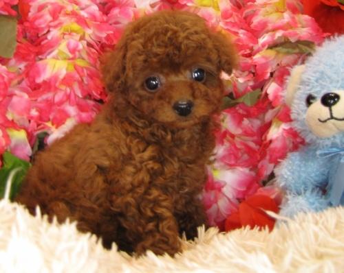 トイプードルの子犬(ID:1249511797)の2枚目の写真/更新日:2017-05-15
