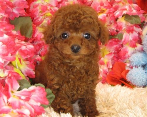 トイプードルの子犬(ID:1249511797)の3枚目の写真/更新日:2017-05-15