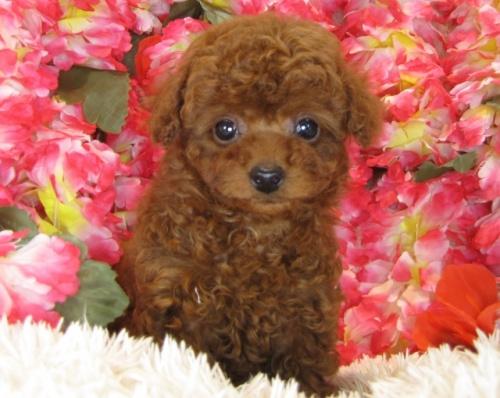 トイプードルの子犬(ID:1249511797)の4枚目の写真/更新日:2017-05-15