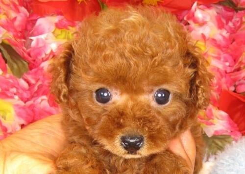 トイプードルの子犬(ID:1249511798)の1枚目の写真/更新日:2017-05-15
