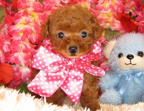 トイプードルの子犬(ID:1249511798)の3枚目の写真/更新日:2017-05-15