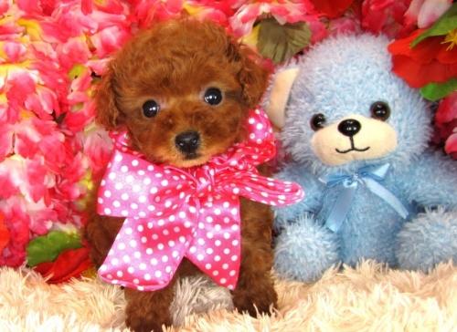トイプードルの子犬(ID:1249511798)の5枚目の写真/更新日:2017-05-15