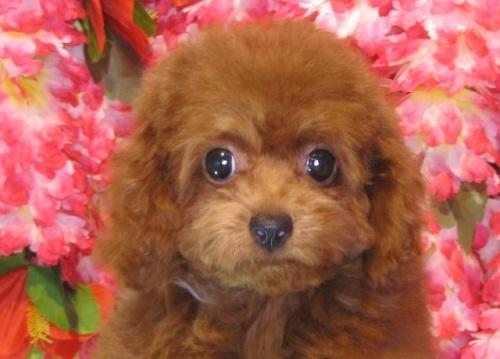 トイプードルの子犬(ID:1249511799)の1枚目の写真/更新日:2017-05-15