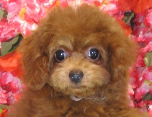 トイプードルの子犬(ID:1249511799)の2枚目の写真/更新日:2017-05-15