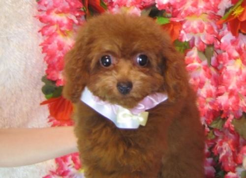 トイプードルの子犬(ID:1249511799)の4枚目の写真/更新日:2017-05-15