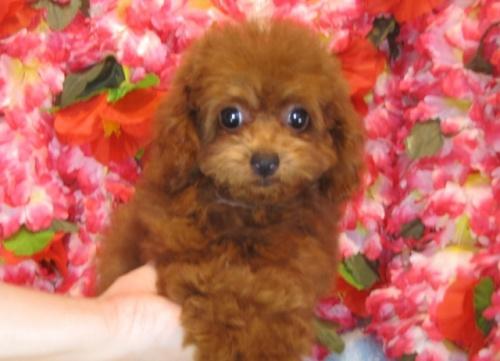 トイプードルの子犬(ID:1249511799)の5枚目の写真/更新日:2017-05-15