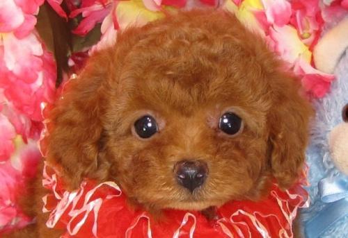 トイプードルの子犬(ID:1249511800)の1枚目の写真/更新日:2017-05-15