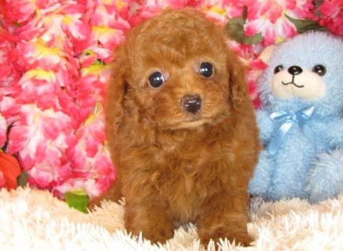 トイプードルの子犬(ID:1249511800)の2枚目の写真/更新日:2017-05-15