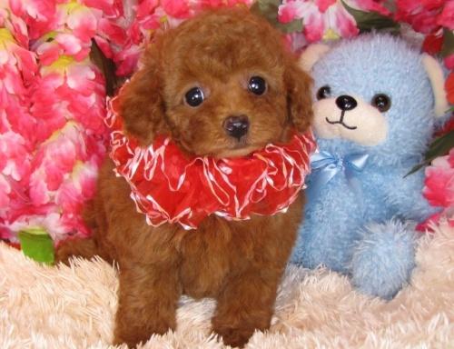 トイプードルの子犬(ID:1249511800)の3枚目の写真/更新日:2017-05-15
