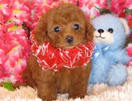 トイプードルの子犬(ID:1249511800)の4枚目の写真/更新日:2017-05-15