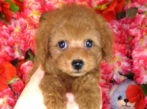 トイプードルの子犬(ID:1249511802)の1枚目の写真/更新日:2017-05-24