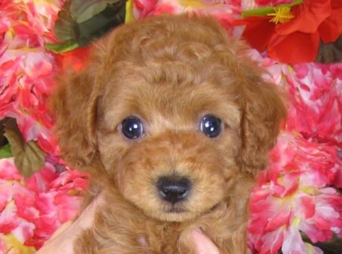 トイプードルの子犬(ID:1249511803)の1枚目の写真/更新日:2017-05-24