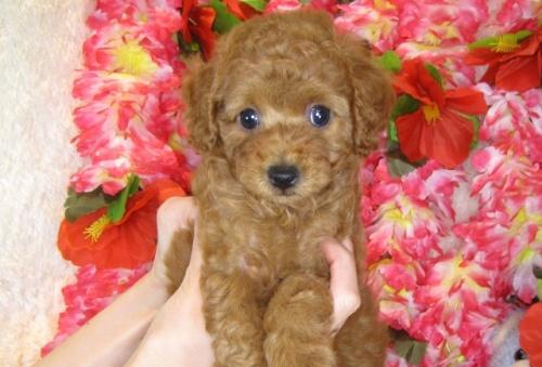 トイプードルの子犬(ID:1249511803)の2枚目の写真/更新日:2017-05-24