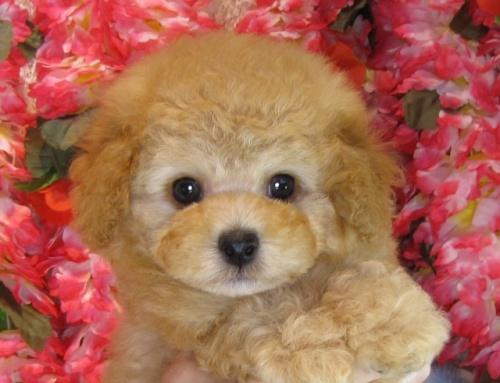 トイプードルの子犬(ID:1249511804)の1枚目の写真/更新日:2017-05-24