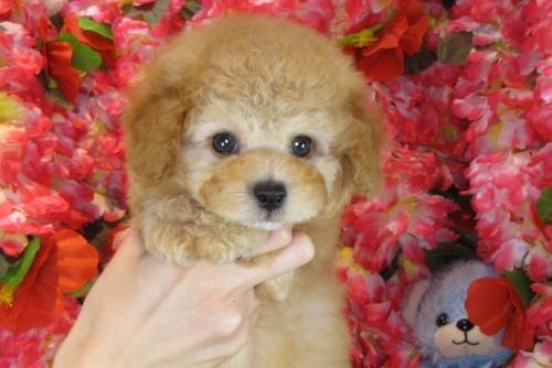 トイプードルの子犬(ID:1249511804)の2枚目の写真/更新日:2017-05-24