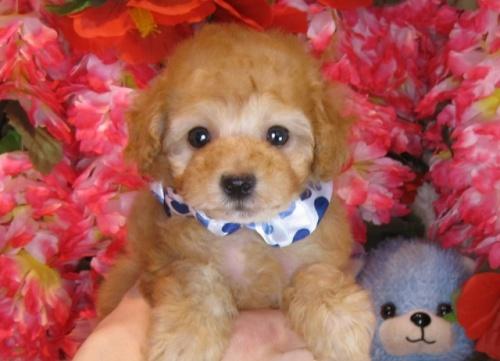 トイプードルの子犬(ID:1249511805)の1枚目の写真/更新日:2017-05-24