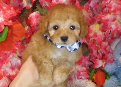 トイプードルの子犬(ID:1249511805)の2枚目の写真/更新日:2017-05-24