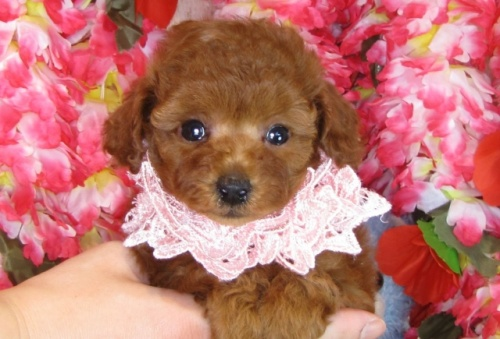 トイプードルの子犬(ID:1249511806)の4枚目の写真/更新日:2017-05-30