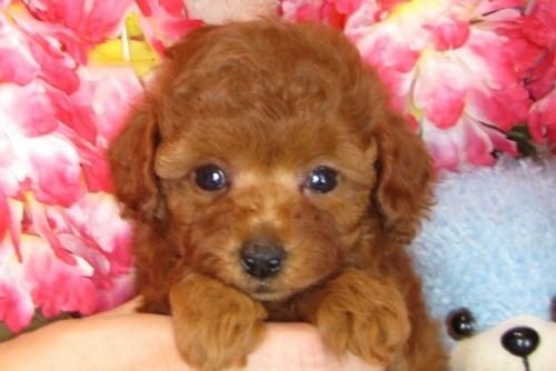 トイプードルの子犬(ID:1249511806)の5枚目の写真/更新日:2017-05-30