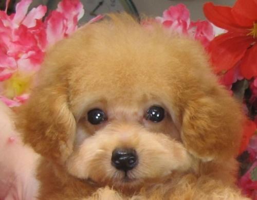 トイプードルの子犬(ID:1249511807)の1枚目の写真/更新日:2017-07-10