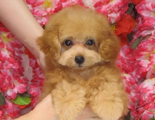 トイプードルの子犬(ID:1249511807)の2枚目の写真/更新日:2017-05-30