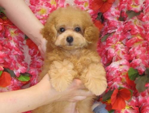 トイプードルの子犬(ID:1249511807)の3枚目の写真/更新日:2017-07-10