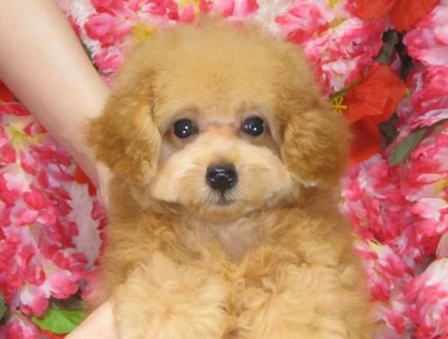 トイプードルの子犬(ID:1249511807)の4枚目の写真/更新日:2017-05-30