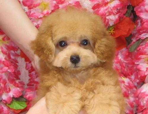 トイプードルの子犬(ID:1249511807)の5枚目の写真/更新日:2017-05-30
