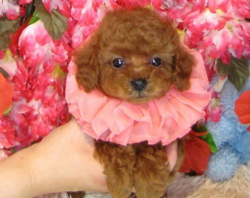 トイプードルの子犬(ID:1249511808)の1枚目の写真/更新日:2017-05-30