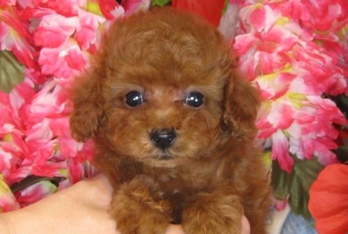 トイプードルの子犬(ID:1249511808)の2枚目の写真/更新日:2017-05-30