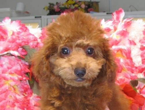 トイプードルの子犬(ID:1249511809)の1枚目の写真/更新日:2017-06-03