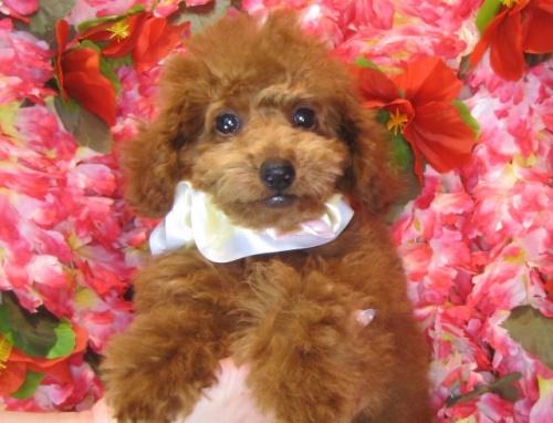 トイプードルの子犬(ID:1249511809)の2枚目の写真/更新日:2017-06-03