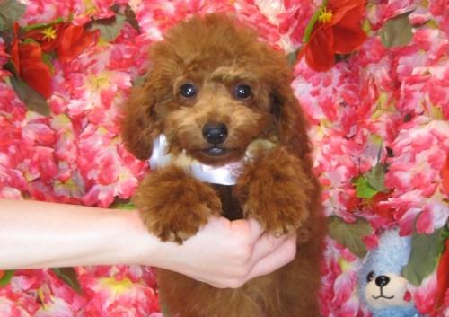 トイプードルの子犬(ID:1249511809)の3枚目の写真/更新日:2017-06-03