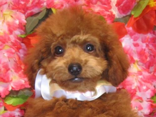 トイプードルの子犬(ID:1249511809)の4枚目の写真/更新日:2017-06-03
