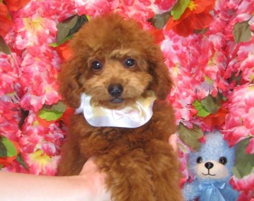 トイプードルの子犬(ID:1249511809)の5枚目の写真/更新日:2017-06-03