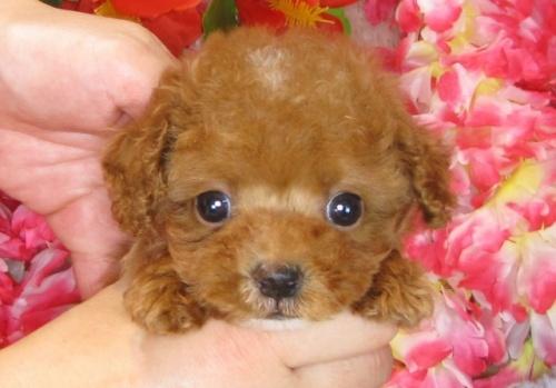 トイプードルの子犬(ID:1249511810)の5枚目の写真/更新日:2017-06-03