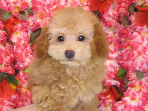 トイプードルの子犬(ID:1249511811)の3枚目の写真/更新日:2017-06-03